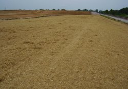 Straw Cover for Seeding, Southeastern Corner of the Site / Looking North (August 15, 2014)